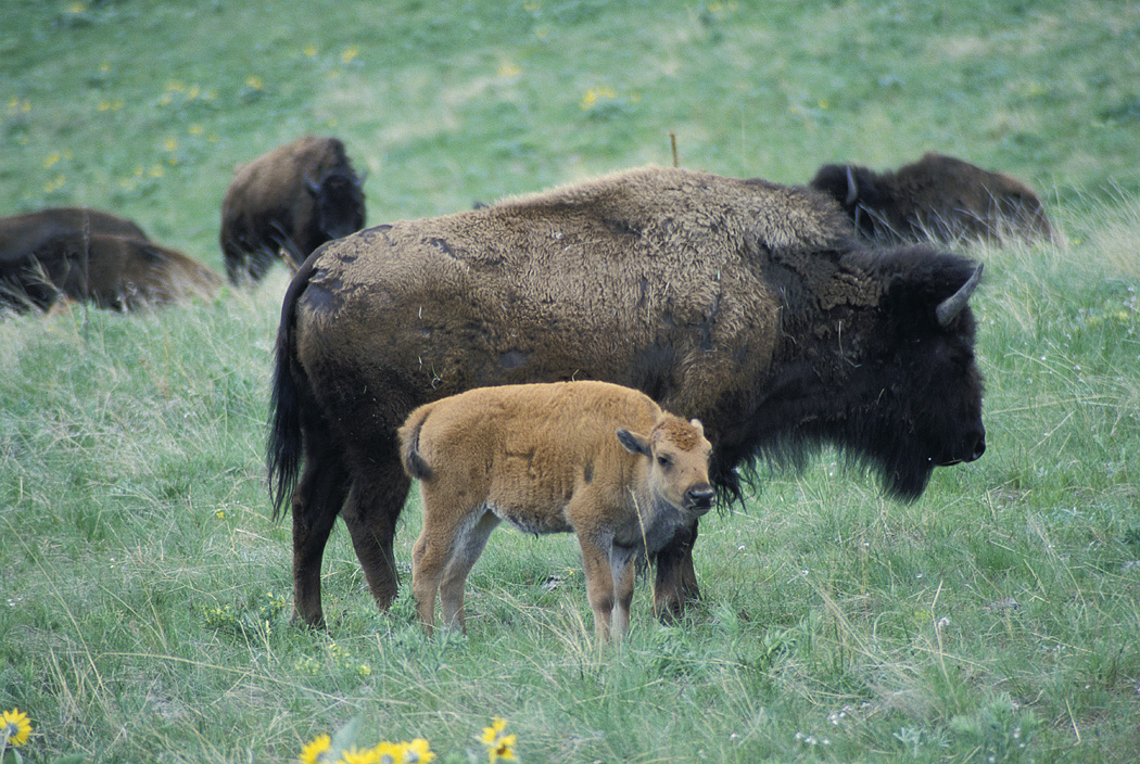 Bison_Cow_and_Calf
